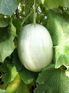 growing melons 3