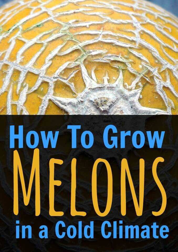 Find out how to grow melons in the greenhouse. No matter how cold it is where you live, it's possible to grow your own fresh, delicious melons. Find out how here. #gardening #vegetable #growing